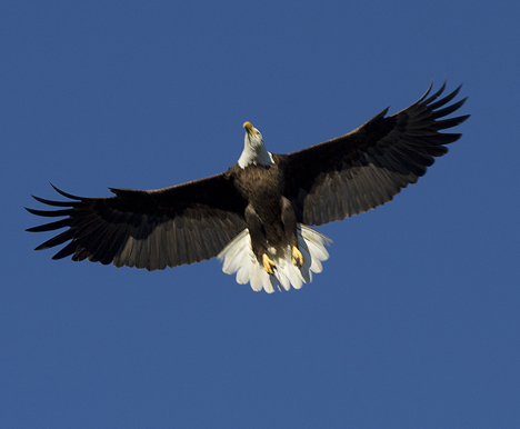 An adult bald eagle soars above its nest along the Choctawhatchee Bay. Lori Ceier/Walton Outdoors
