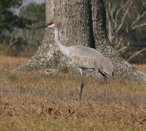 Lesser sandhill cranes have a wingspan of up to 78 inches and stand more than 3 feet tall. Lori Ceier
