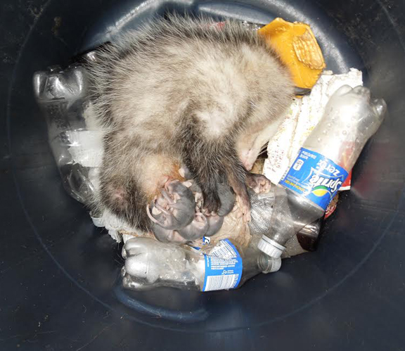 Opossum in Freeport garbage can with offspring. Photo courtesy Dan Baker