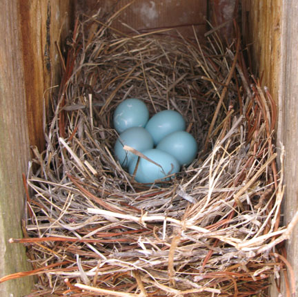 Bluebird eggs. Lori Ceier/Walton Outdoors