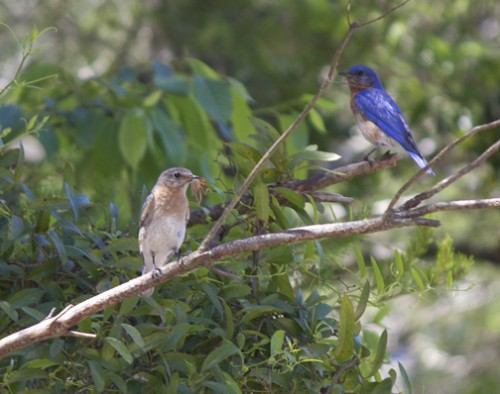 Female bluebird (left) has a cricket ready to feed her offspring as her mate, the male looks on. Lori Ceier/Walton Outdoors