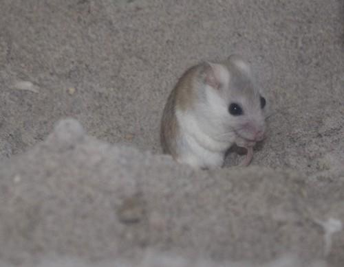Perdido beach mouse at E.O. Wilson Biophilia Center. Lori Ceier/Walton Outdoors