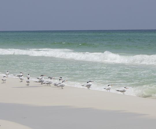 Terns along the beach at Topsail Hill Preserve State Park. Lori Ceier/Walton Outdoors