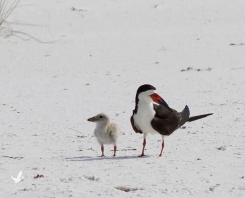 Black skimmer parent watches over chick. Lori Ceier/Walton Outdoors