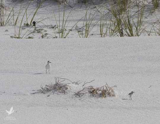 Parent snowy plover watches over chick. Lori Ceier/Walton Outdoors