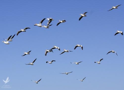 White pelicans soar above the bay. Lori Ceier/Walton Outdoors