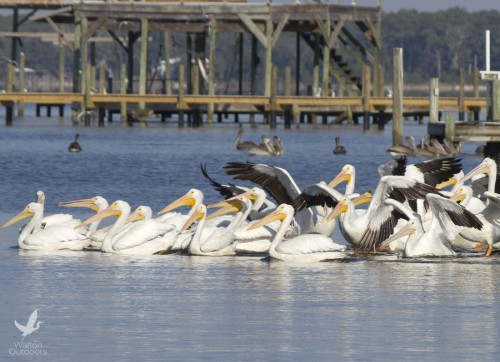 White pelicans resting along the Choctawhatchee Bay. Lori Ceier/Walton Outdoors