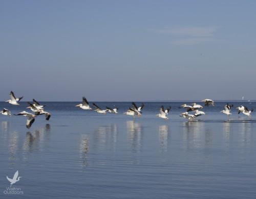 White pelicans take flight along the Choctawhatchee Bay. Lori Ceier/Walton Outdoors