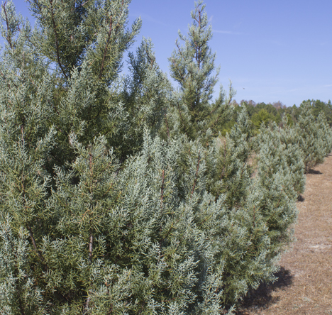 Arizona Blue Ice Cypress is one of the varieties of Christmas trees you can choose from at Strickland's Christmas Tree Farm. Lori Ceier/Walton Outdoor