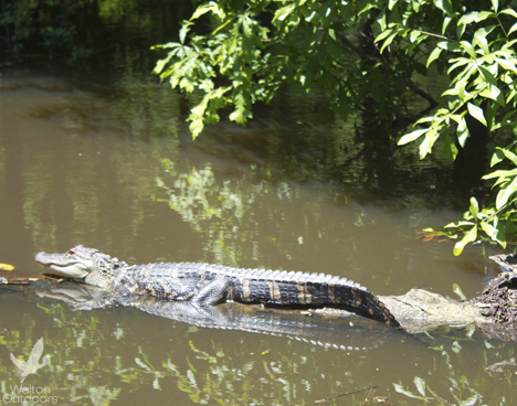 A recent photo of a young alligator sunning itself along the Choctawhatchee River. Lori Ceier/Walton Outdoors