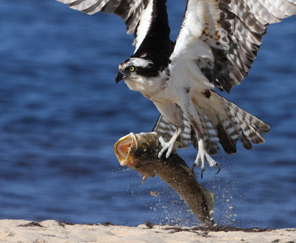 Osprey with speckled trout catch of the day. Photo courtesy Walt Spence