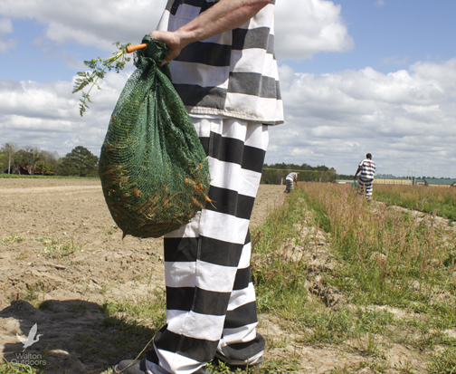 Inmates harvesting carrots on March 24, 2015. Lori Ceier/Walton Outdoors