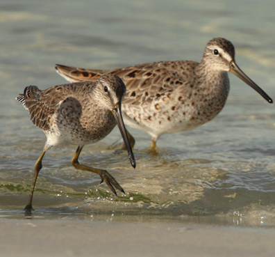 Short billed dowitchers photo by Walt Spence.