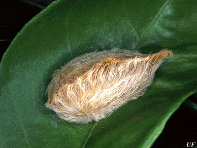 Puss Caterpillar, Image courtesy University of Florida