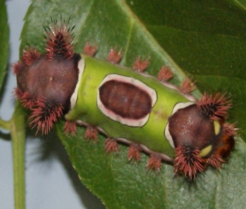 Saddleback Caterpiller, Image Credit Matthew Orwat UF/IFAS