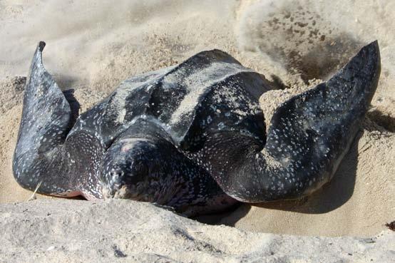 Nesting leatherback turtle. Photo courtesy NOAA.