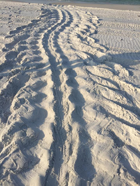 The leatherback tracks are 7 ft. across. Photo courtesy Topsail Hill Preserve State Park