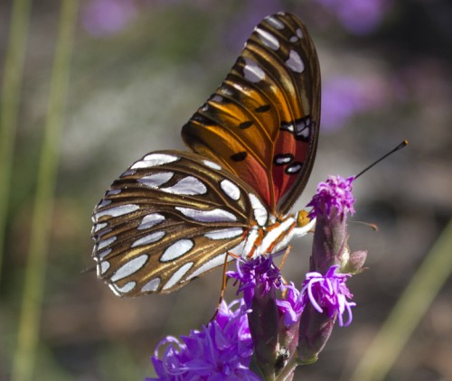 A Gulf fritillary perched on a blazing star at Topsail Hill Preserve State Park. You will spot these Sept. - Nov. Lori Ceier/Walton Outdoors