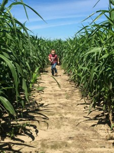 More than 5 acres of corn maze at Cypress Cattle and Produce Farm.