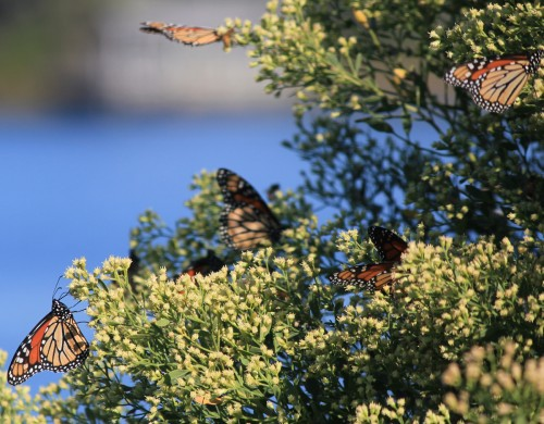 Monarchs resting on salt marsh bush at Grayton Beach State Park. Lori Ceier/Walton Outdoors