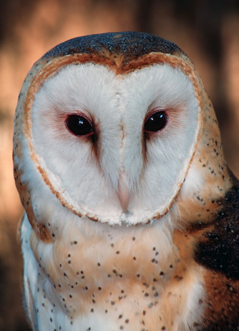 To be successful hunters of the night, owls have some truly amazing physiological adaptations. This closeup of a barn owl shows a few in the large eyes and dish shaped face that help perfect its hearing and sight. Compliments UF/IFAS File Photo