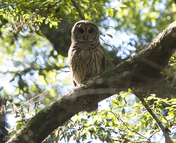 Barred owl perched above Holmes Creek in northwest Florida. Lori Ceier/Walton Outdoors