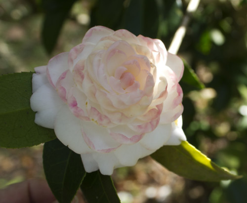 Grace Albritton (C. japonica). This camellia was a ten-year-old chance seedling that first bloomed in 1967. Originiated in USA by A.D. Albritton, Tallahassee.