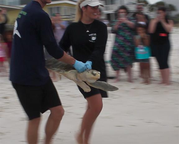 Gulf World Marine Institute staff release rehabilitated kemps ridley sea turtle April 13, 2016. Lori Ceier/Walton Outdoors