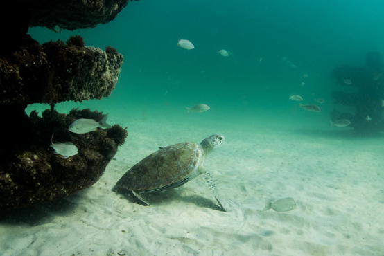 A happy turtle taking up residence on Turtle Reef at Grayton Beach State Park. The 3 remaining snorkel reefs will be deployed with the same ecosystem towers that furnish Turtle Reef, in different marine creature shapes as described. Photo courtesy SWARA