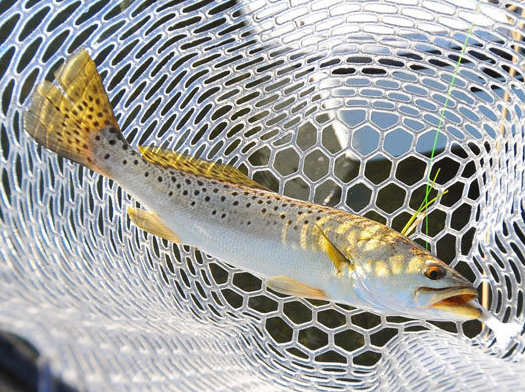 Share your input on future speckled trout management with